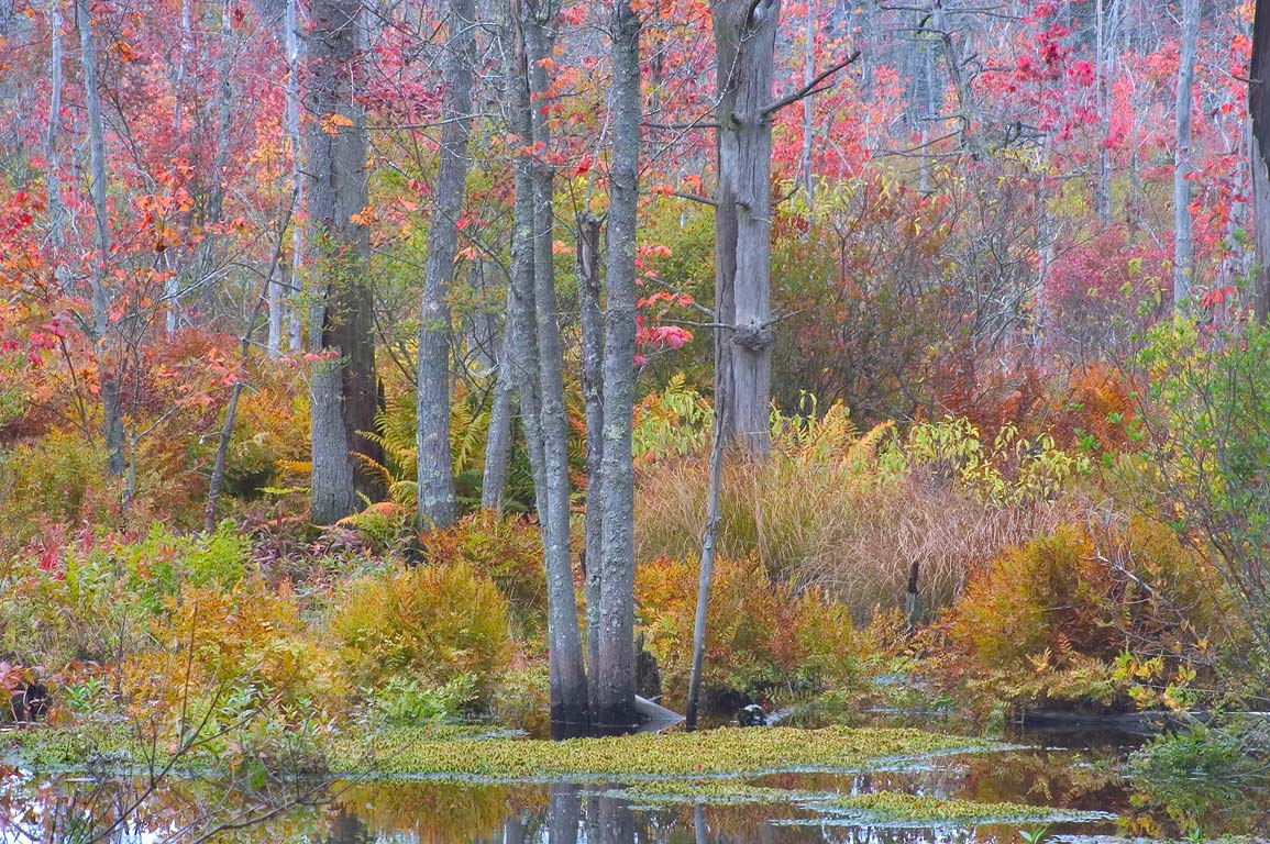 Maple swamp of Mill Brook, view from Bell Rock Rd...Fall River State Forest. Massachusetts