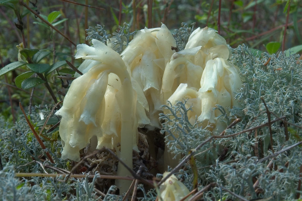 Plants of pinesap (Monotropa hypopitys) in moss...north-west from St.Petersburg, Russia