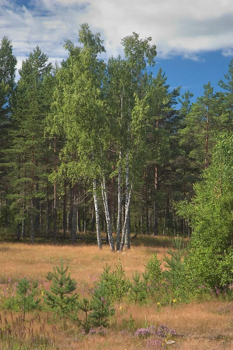 Birch trees on a meadow near Kanneliarvi, 40 miles north-west from St.Petersburg, Russia