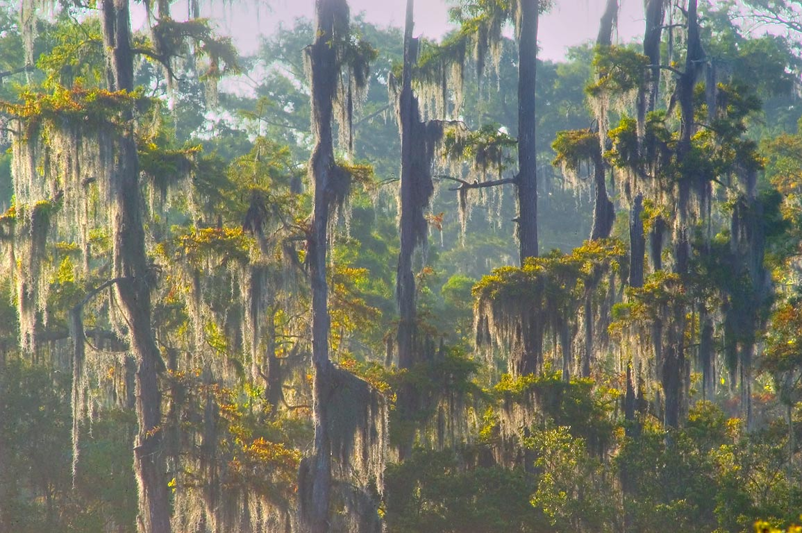 Swamp cypresses, view from Marsh Overlook Trail...south from New Orleans. Louisiana