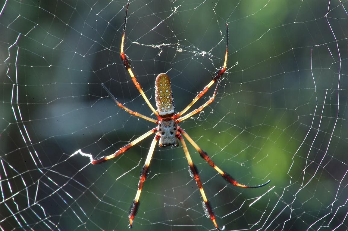 Golden silk spider (Nephila clavipes) in...south from New Orleans. Louisiana