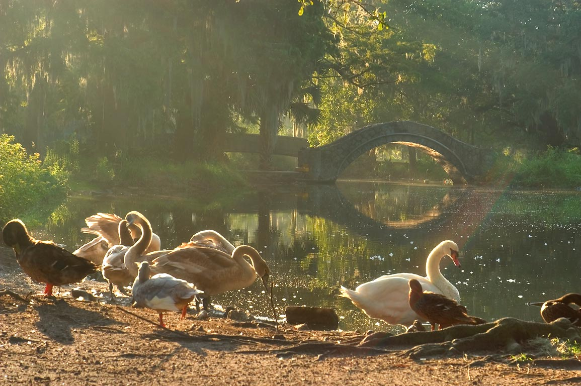 Swans at morning in City Park. New Orleans, Louisiana
