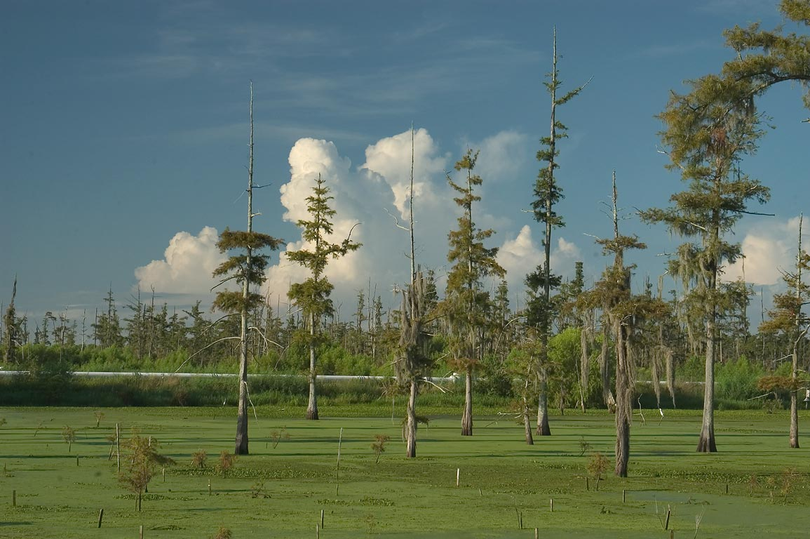 Dying cypress swamp along Rd. 70, Assumption Parish. Louisiana
