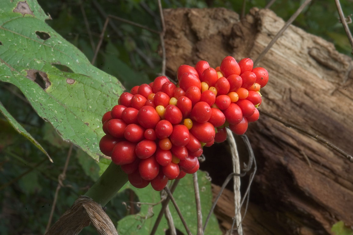 Fruits of Jack-in-the-Pulpit near Katy Trail west from Rocheport. Missouri