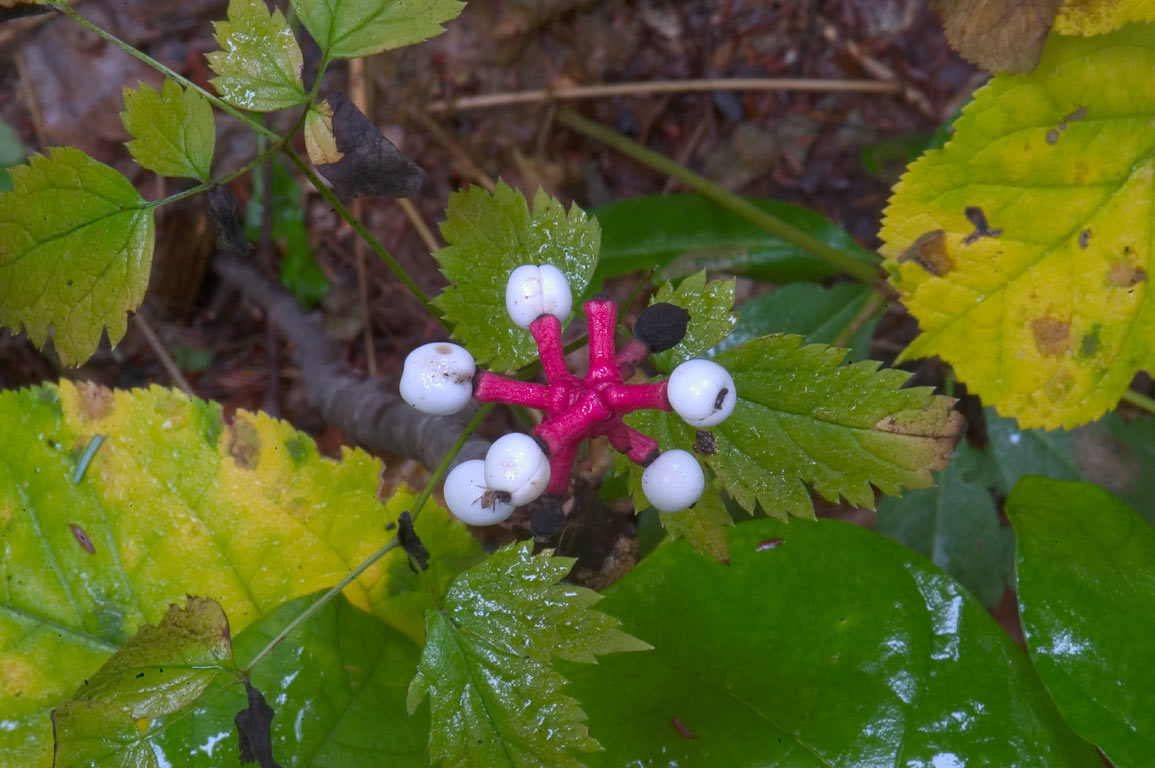 White baneberry (Doll's Eyes) near Fall Creek and arboretum. Ithaca, New York