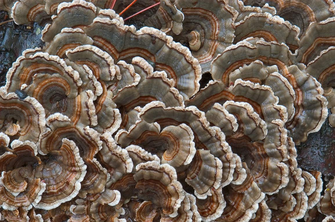 Turkey tail mushrooms near Lake Treman in Buttermilk Falls State Park. Ithaca, New York