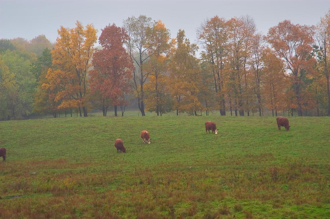 Busy cows on a pasture near Rd. 327 . Enfield, New York
