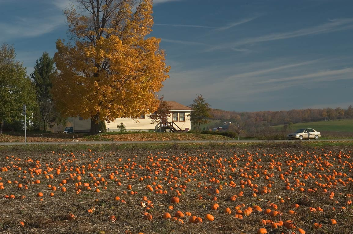 Field of pumpkins at crossing of Van Donsel Rd. and Rd. 392. Dryden, New York