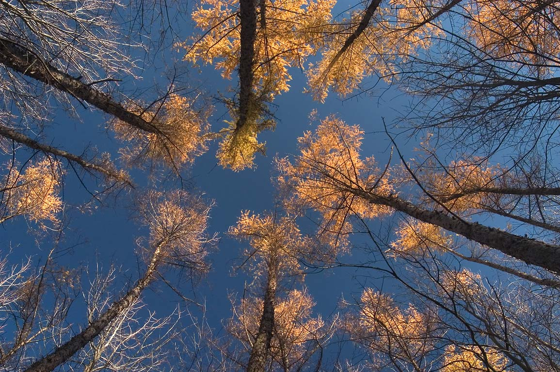 Canopy of larch trees near Burnt Hill Rd. at...National Forest. Hector, New York