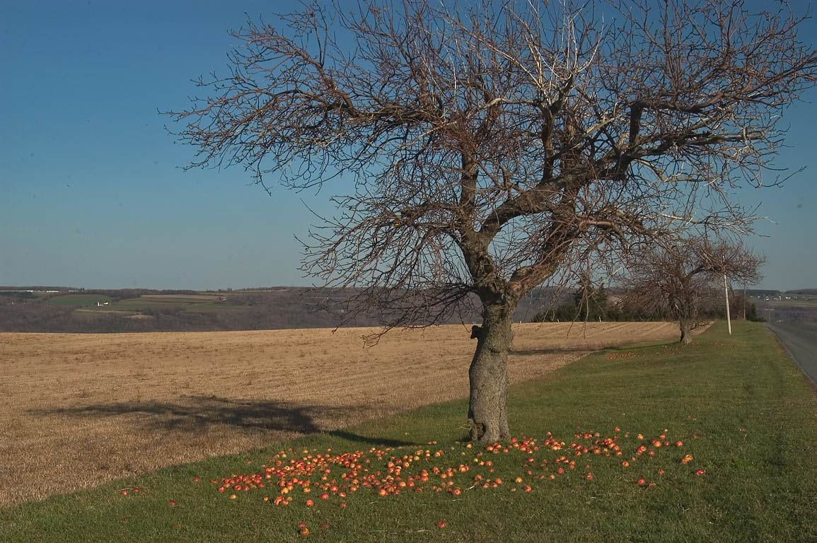 An apple tree near New Hope Rd. between Owasco and Skaneateles lakes. New York
