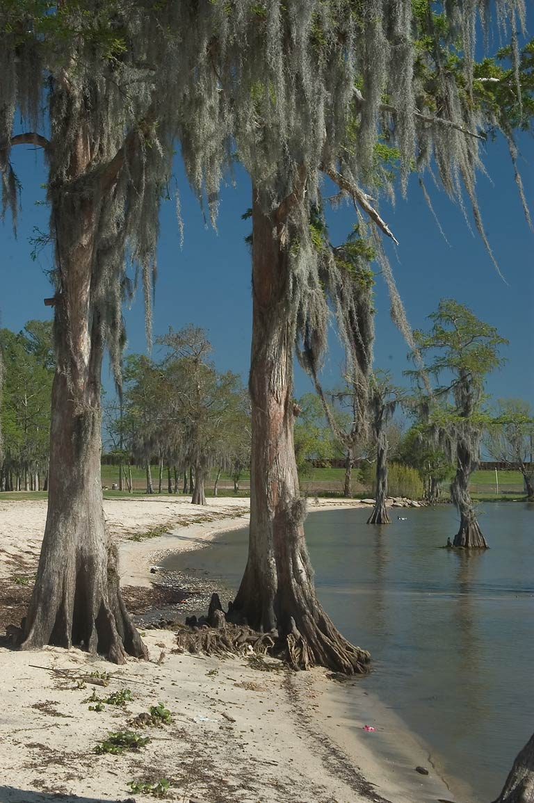 Cypresses on a beach of Lake Palourde in Lake End Park. Morgan City, Louisiana