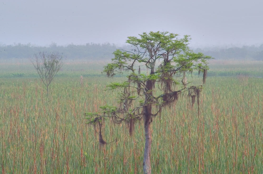 A cypress in mist from Marsh Overlook Trail in...New Orleans, at morning. Louisiana