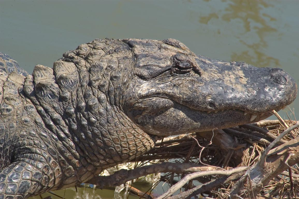 An alligator sunning on storm debris in a canal in Venice. Plaquemines Parish, Louisiana