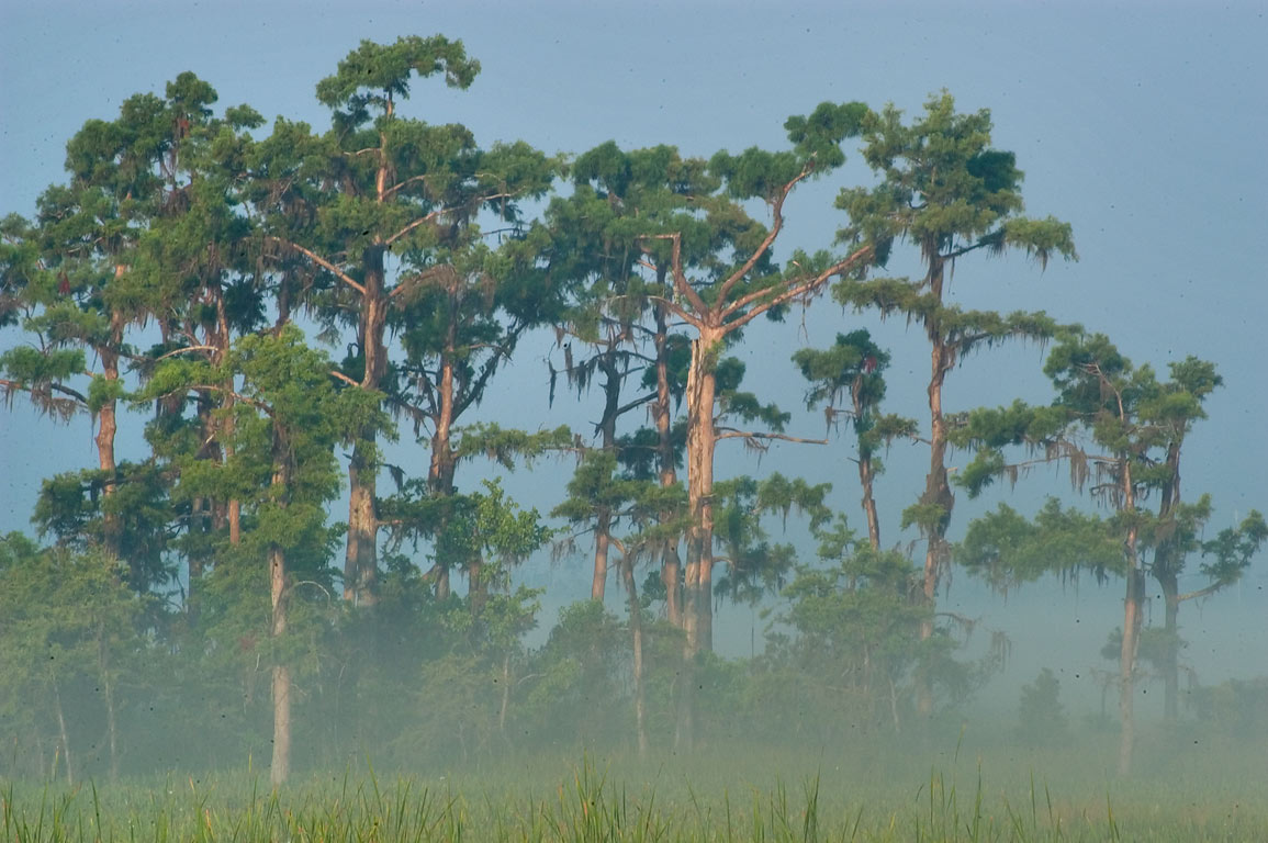 Cypress trees with mist, from marsh overlook in...South from New Orleans, Louisiana