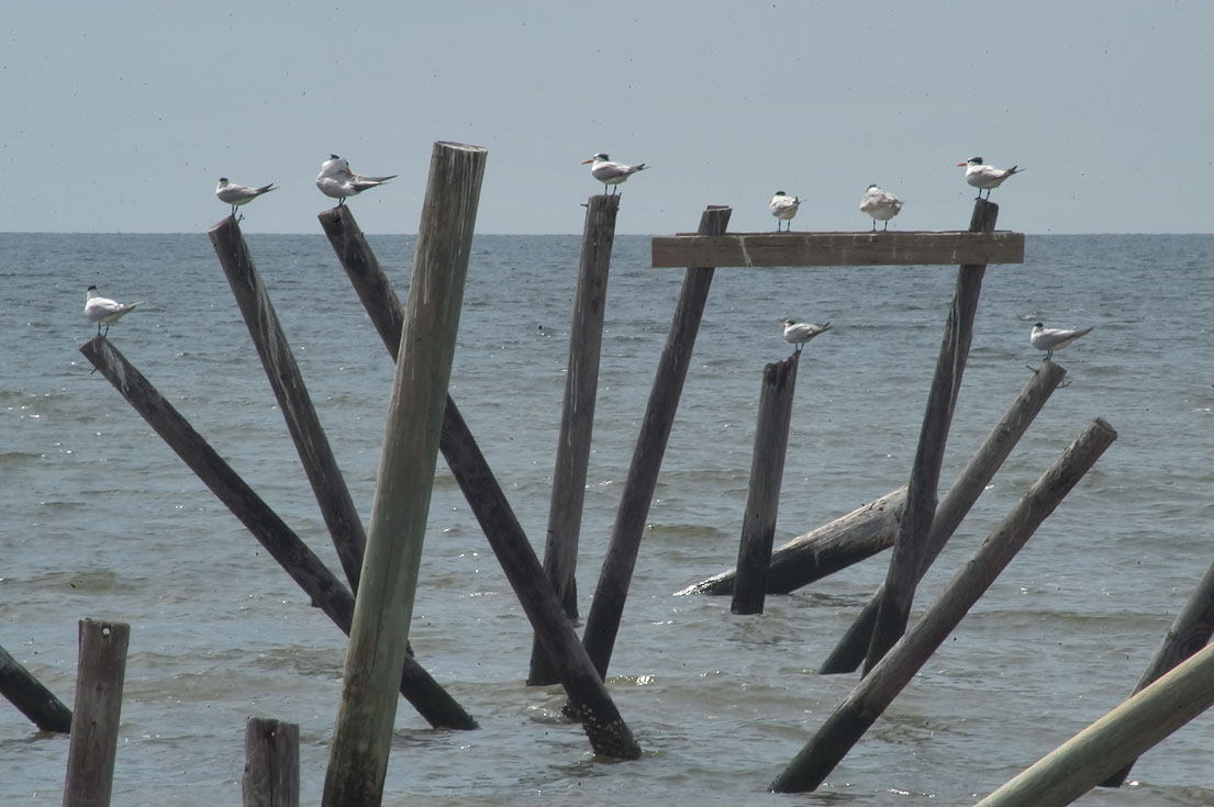 Gulls perching on a fishing pier near South Beach...Road 606) in Bay St.Louis. Mississippi