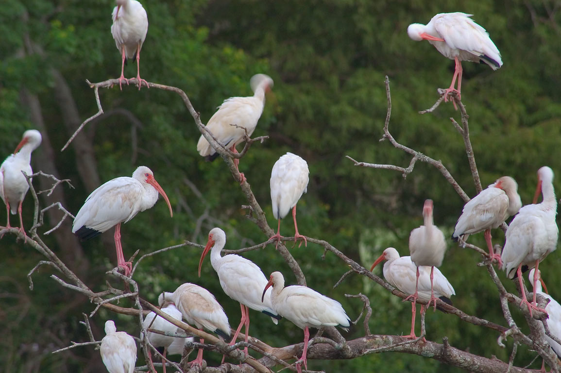 White egrets on an island of a pond in Audubon...Dr.. New Orleans, Louisiana