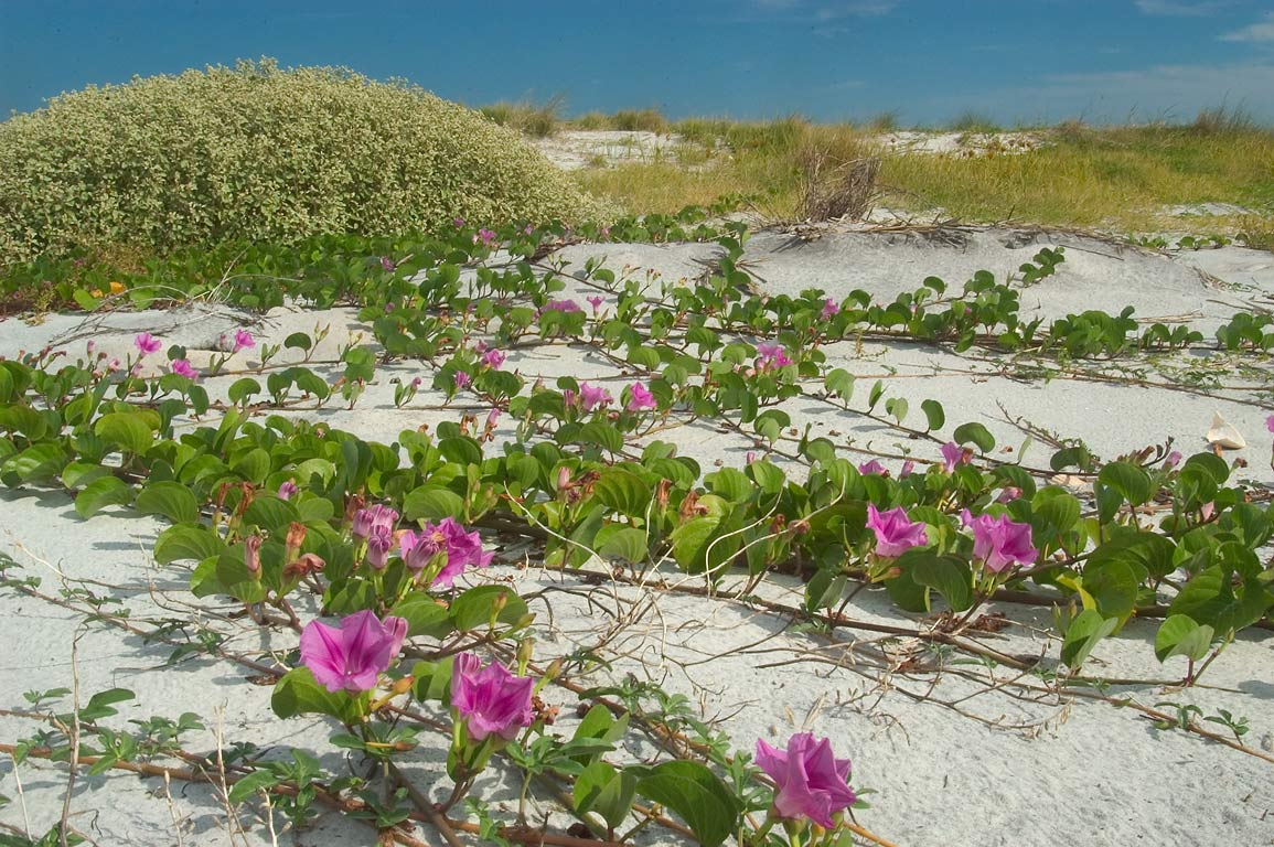 Creeping flowers of railroad vine (Ipomoea pes...the dunes of Ship Island. Mississippi