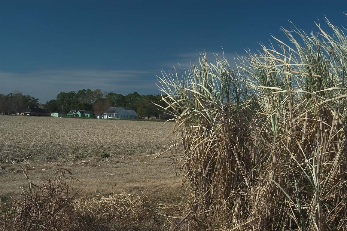 Sugar cane field near Laurel Valley Rd.. Thibodaux, Louisiana