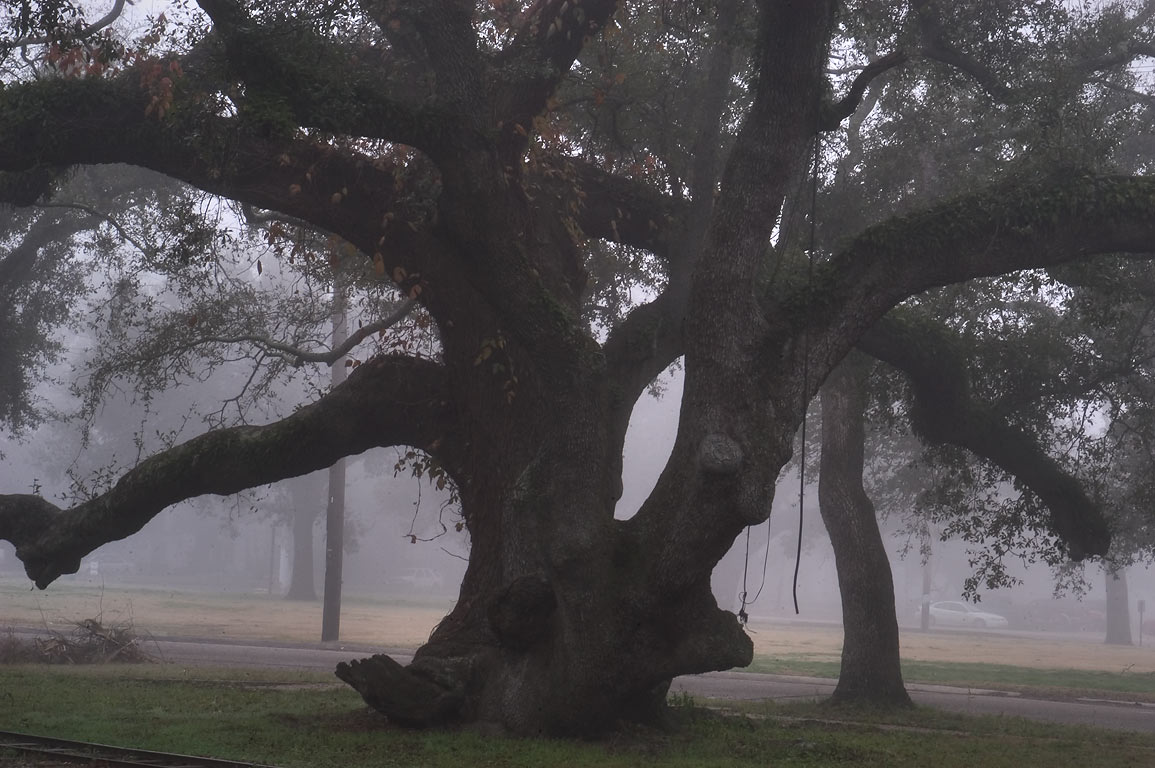 An oak near Dreyfous Dr. in City Park in fog. New Orleans, Louisiana