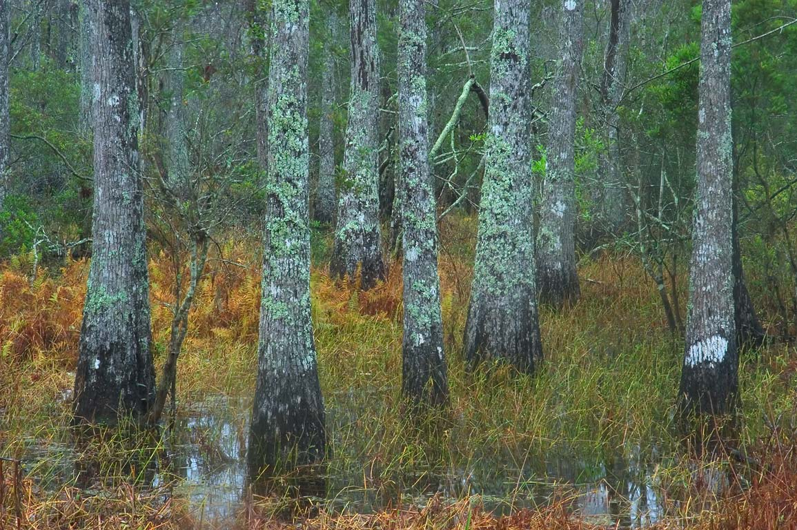 Water tupelo trees in a swamp near Visitor Center...South from New Orleans, Louisiana