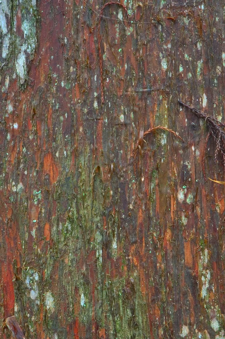Fibrous bark of a cypress near Visitor Center...South from New Orleans, Louisiana