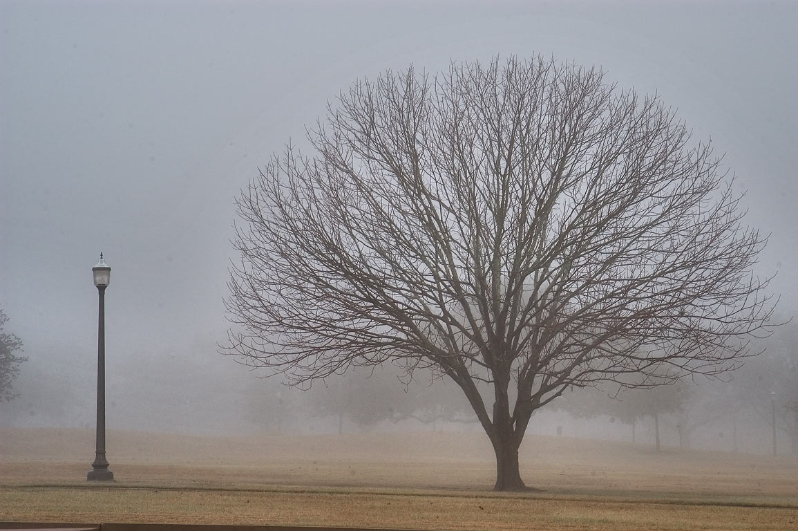 An oak near Polo Rd. on campus of Texas A&M University in fog. College Station, Texas