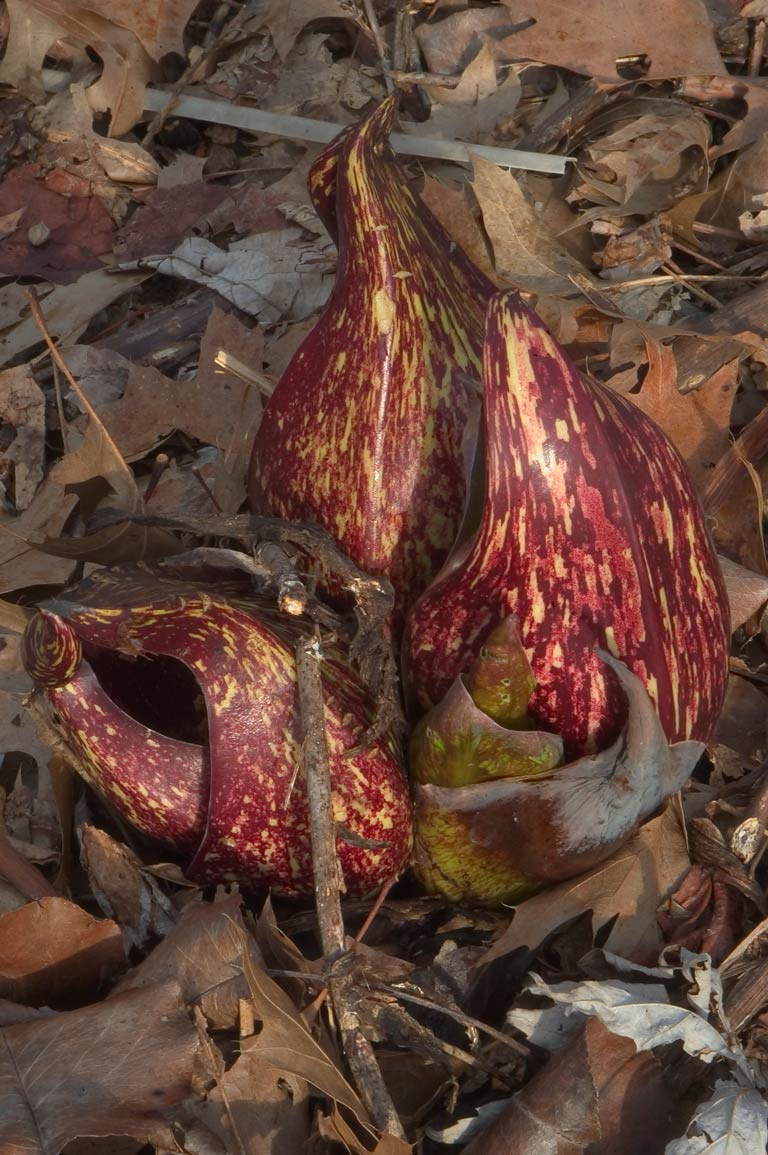 Flowers of skunk cabbage in Delaware and Raritan Canal State Park. Kingston, New Jersey