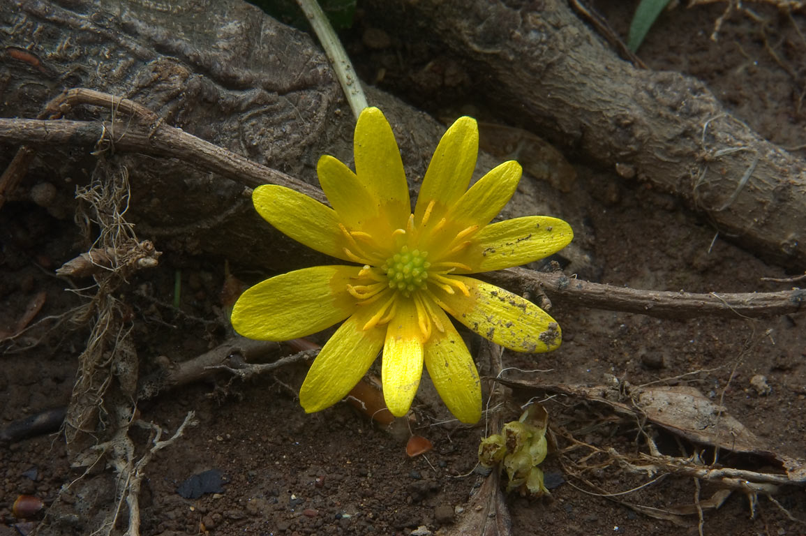 Lesser Celandine (fig buttercup flower) near...Main Reserve. Pennington, New Jersey