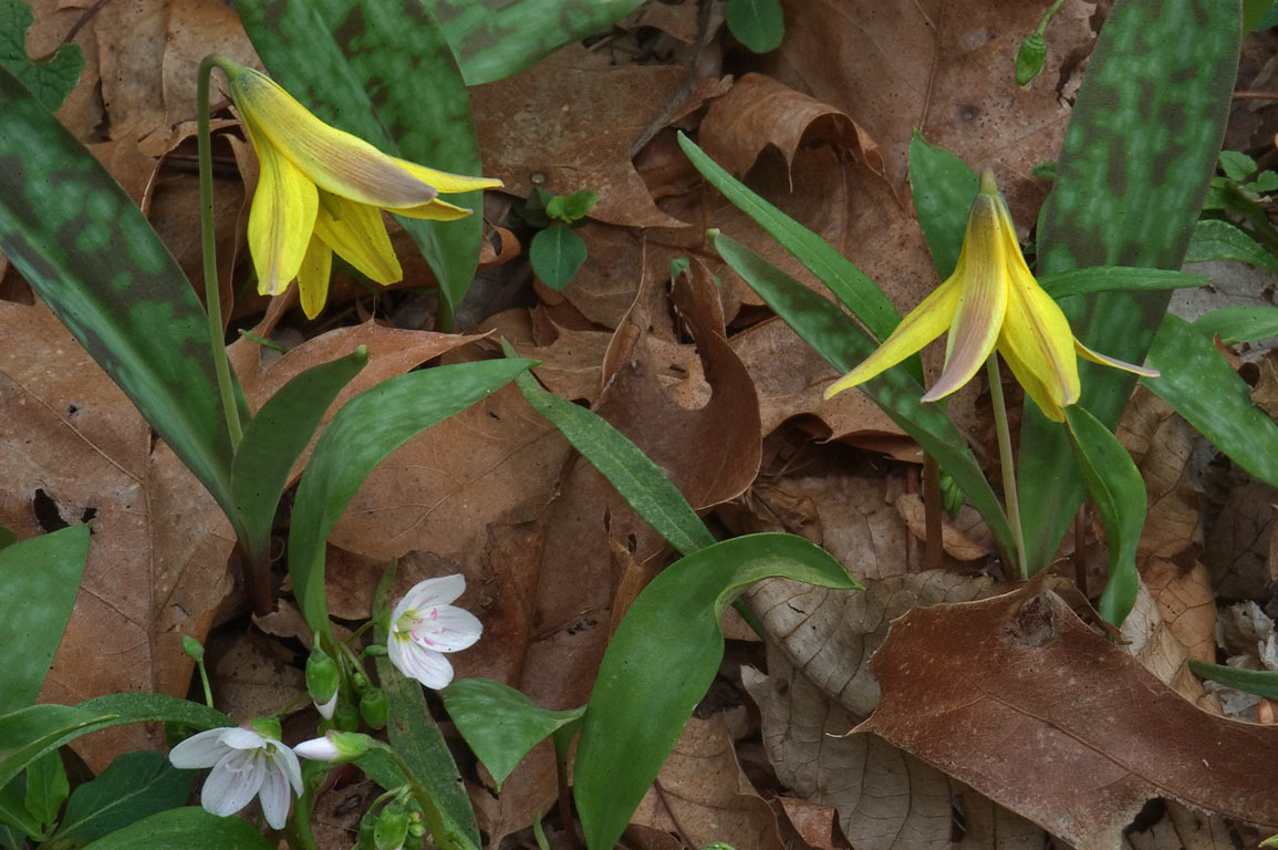 Trout lilies on Meadow Trail in Stony Brook...Main Reserve. Pennington, New Jersey