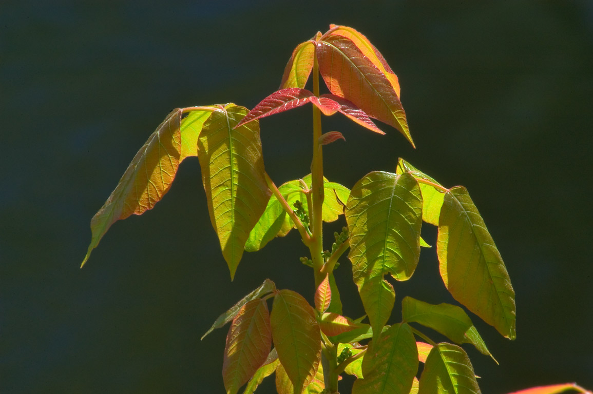 Colored offshoots of poison ivy in Delaware and...Carnegie Lake. Princeton, New Jersey