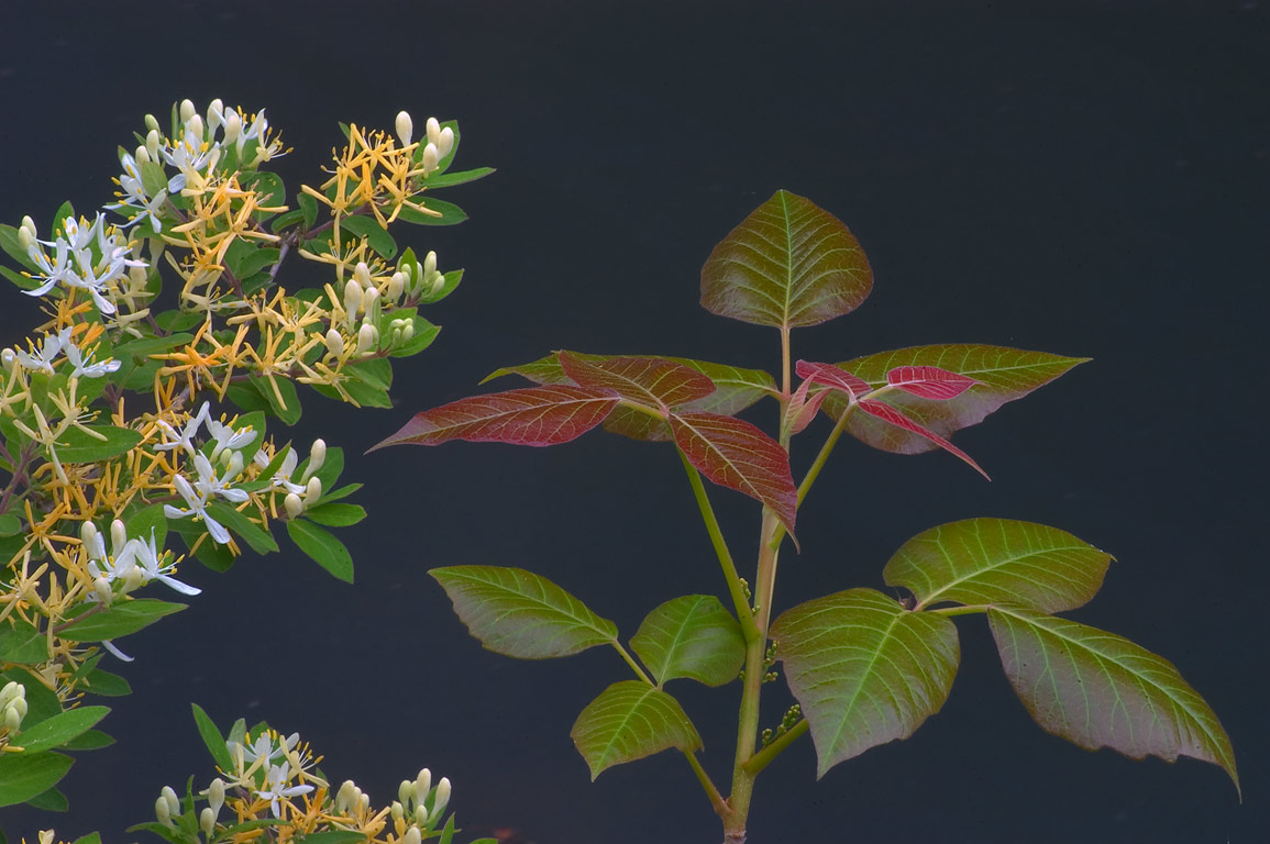 A flowering bush and poison ivy over Delaware and...Carnegie Lake. Kingston, New Jersey