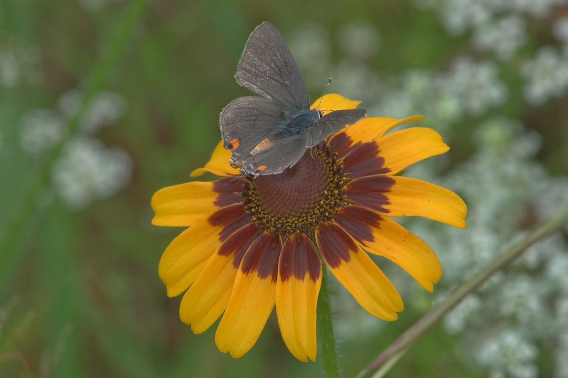A butterfly on black eyed susan flower near Post...Creek Park. College Station, Texas