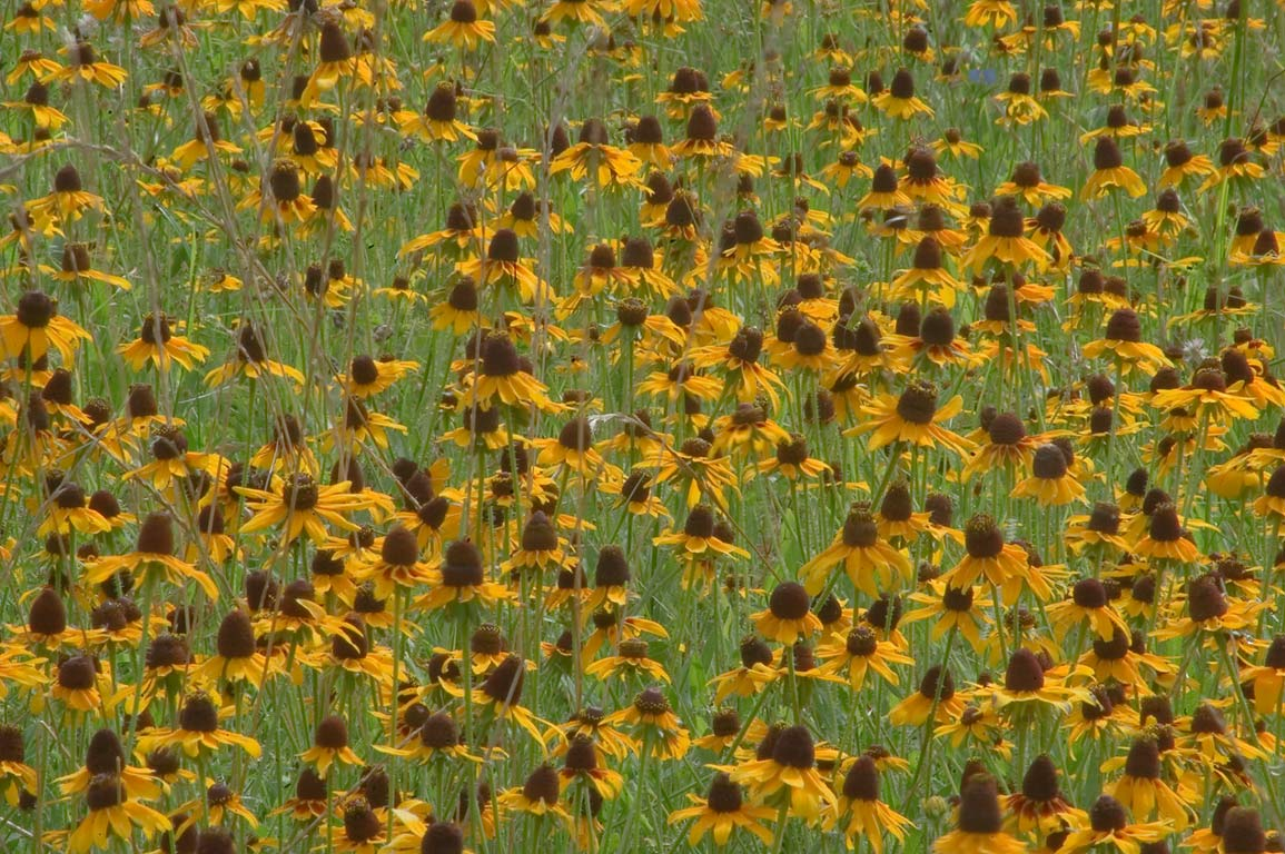 Black eye susan flowers carpeting a field near...State Historic Site. Washington, Texas