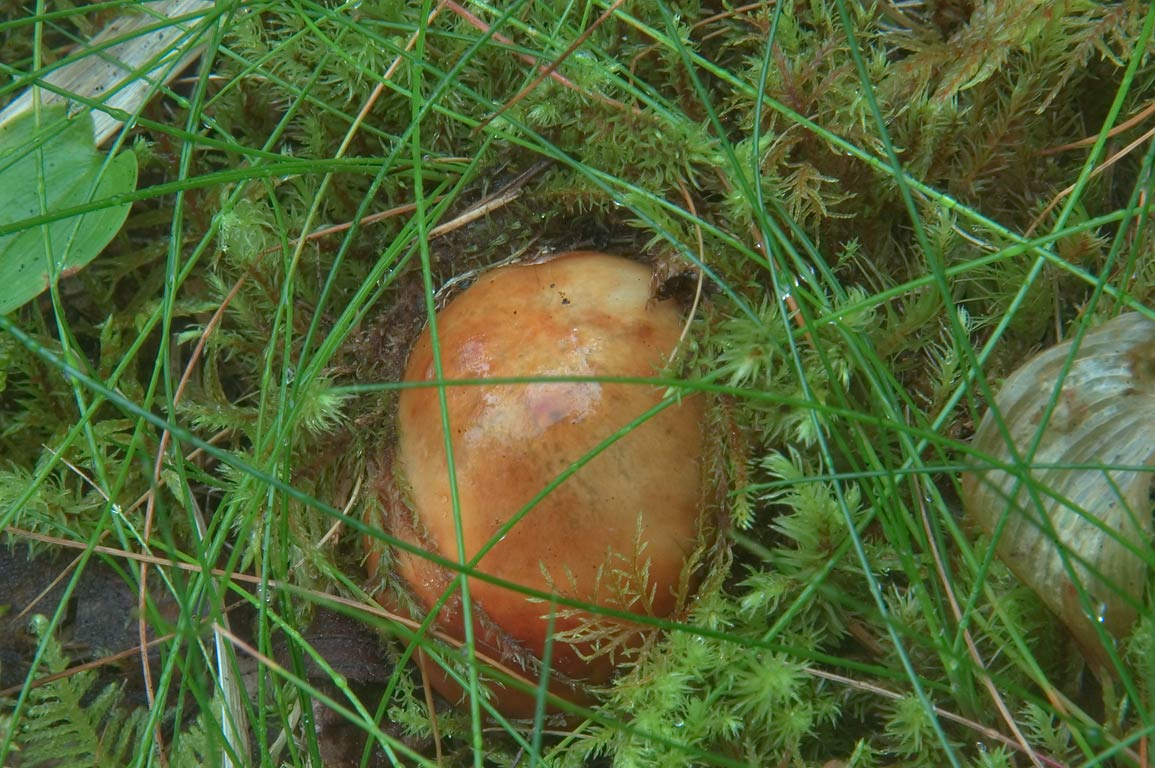 A mushroom in Kanneliarvi, 40 miles north-west from St.Petersburg. Russia