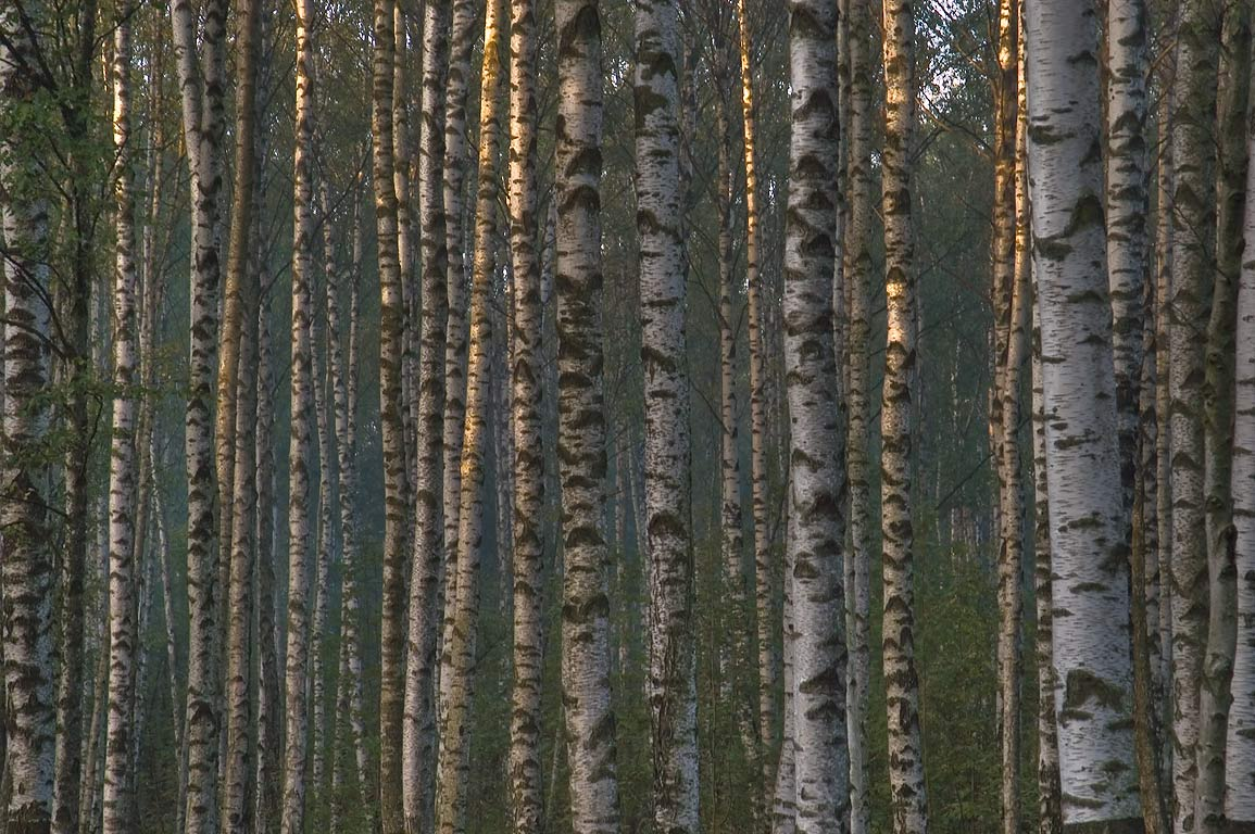 Birch trees in eastern part of Sosnovka Park at morning. St.Petersburg. Russia