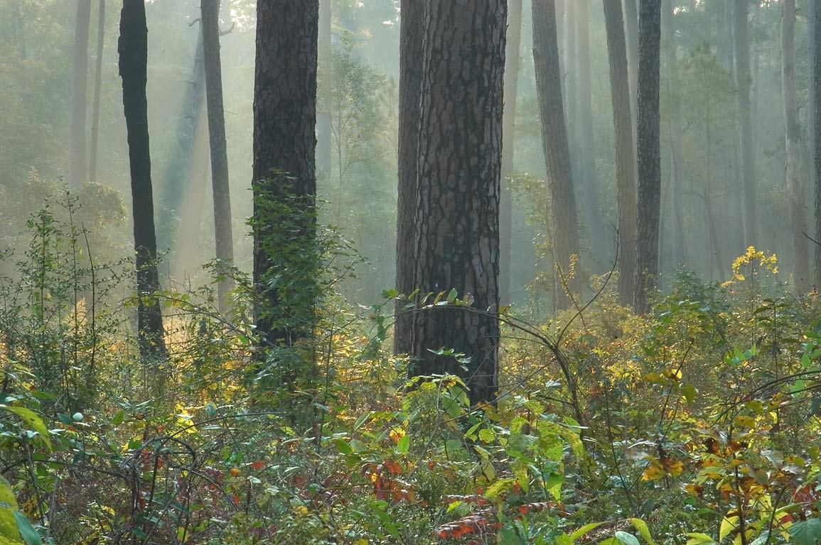 Pine trees in mist at morning near Little Lake...National Forest. Richards, Texas