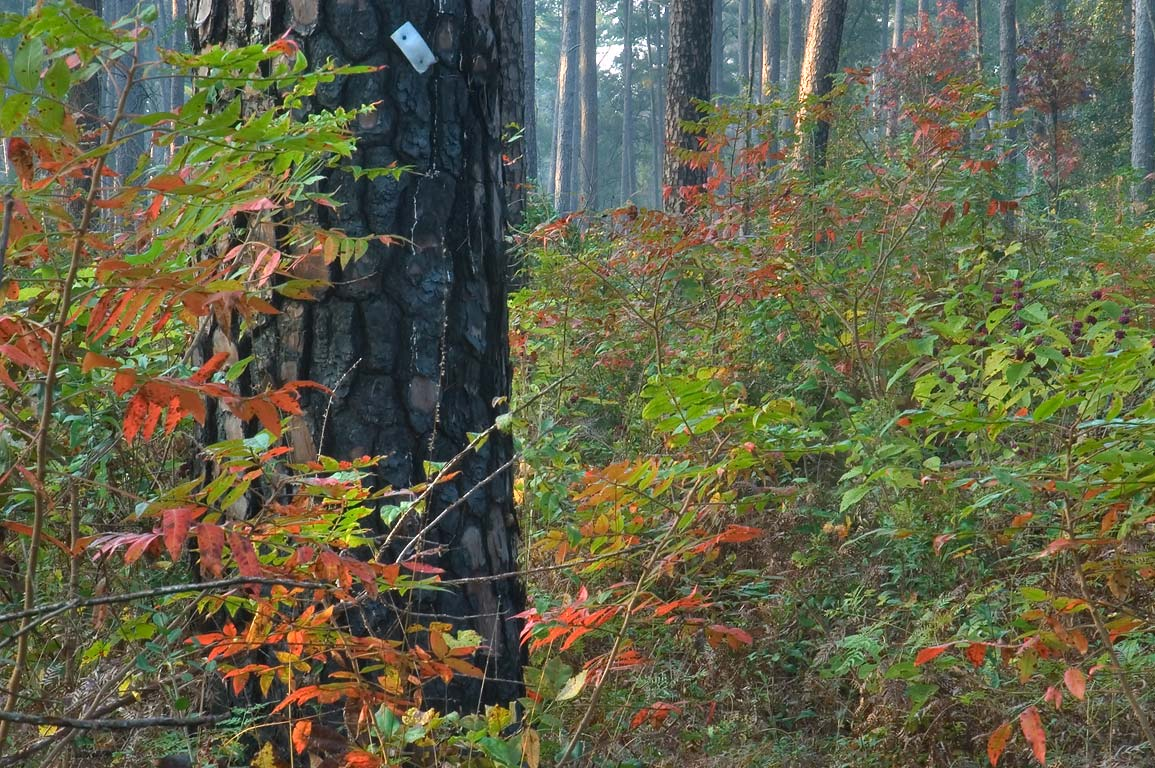 Burned pine and flameleaf sumac (Rhus lanceolata...National Forest. Richards, Texas