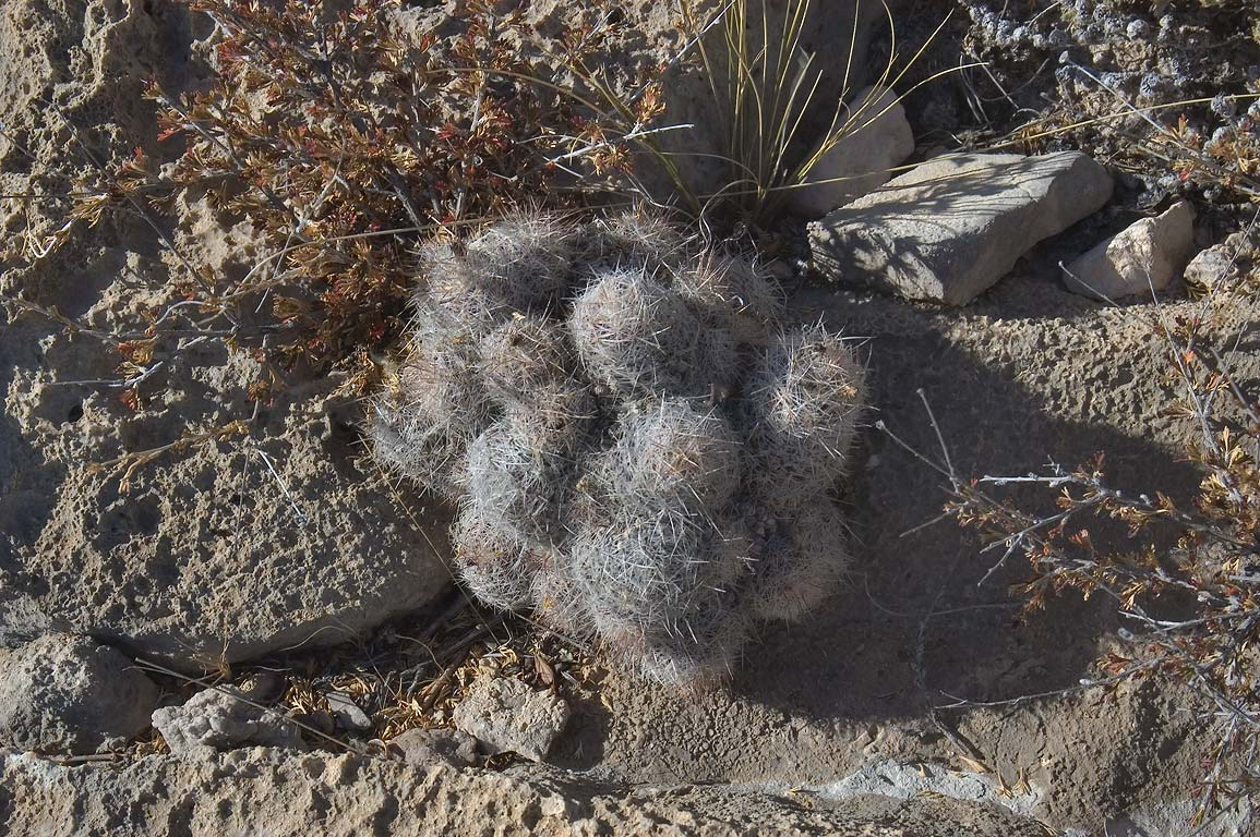 Cactus on rocks of El Capitan Trail. Guadalupe Mountains National Park, Texas