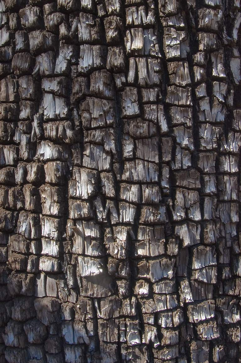 Bark of alligator juniper in McKittrick Canyon. Guadalupe Mountains National Park, Texas