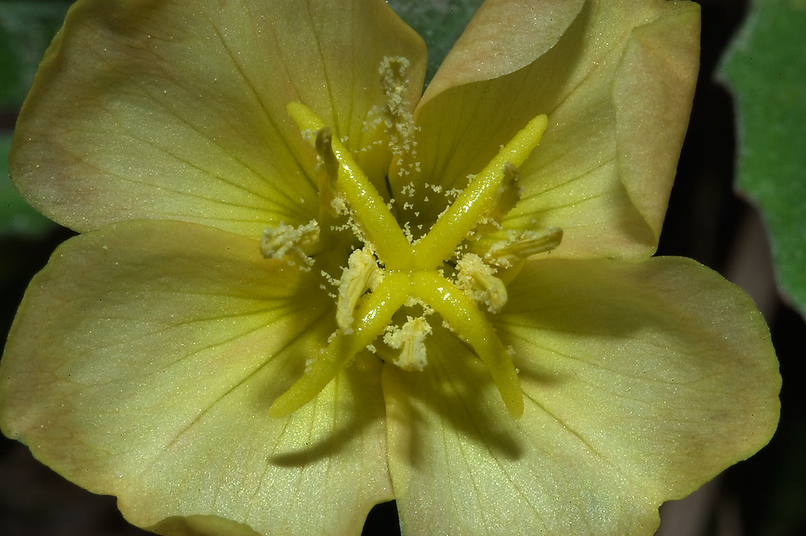 Evening primrose flower in Lick Creek Park. College Station, Texas