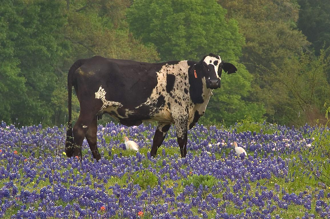 Cow with cattle egrets among bluebonnet flowers...Rd.. West from Independence, Texas