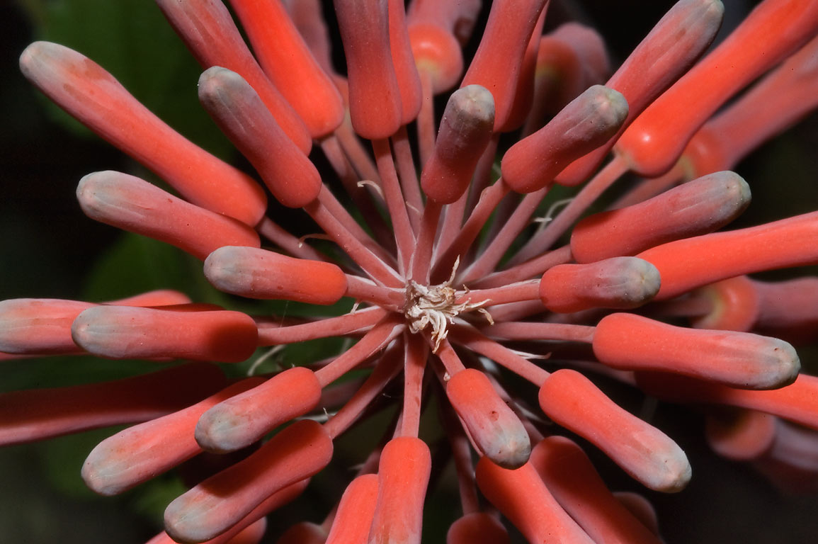 Cluster of red tubular aloe flowers in TAMU...M University. College Station, Texas