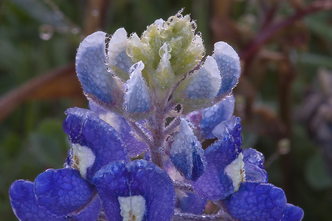 Bluebonnet flowers in morning dew in Washington...State Historic Site. Washington, Texas