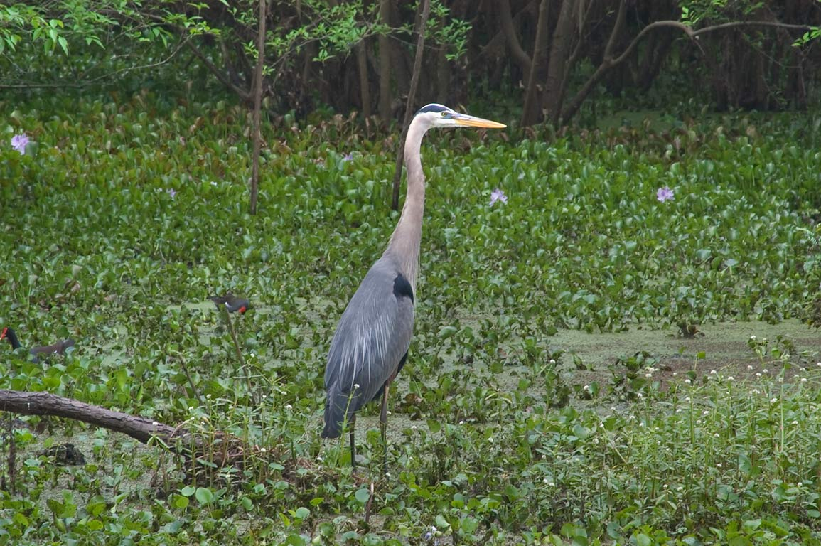Great blue heron near Pilant Lake in Brazos Bend State Park. Needville, Texas
