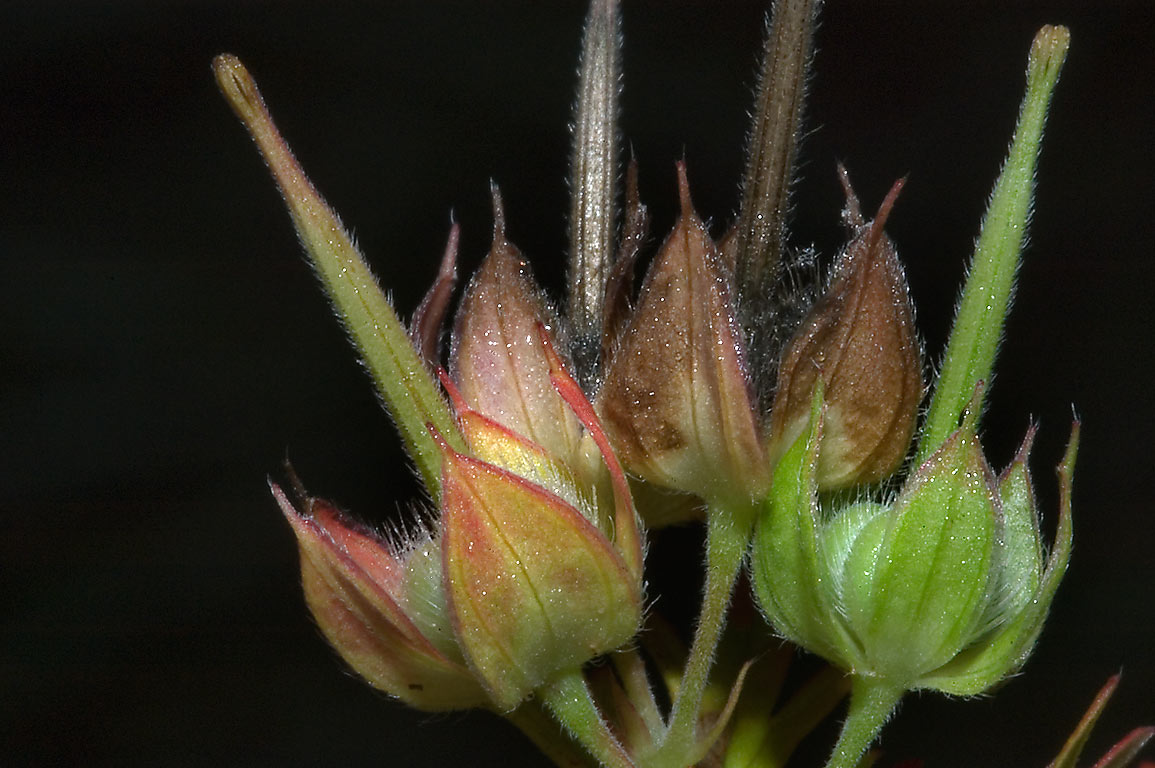 Seeds of field geranium (Crane's bill) in Lick Creek Park. College Station, Texas