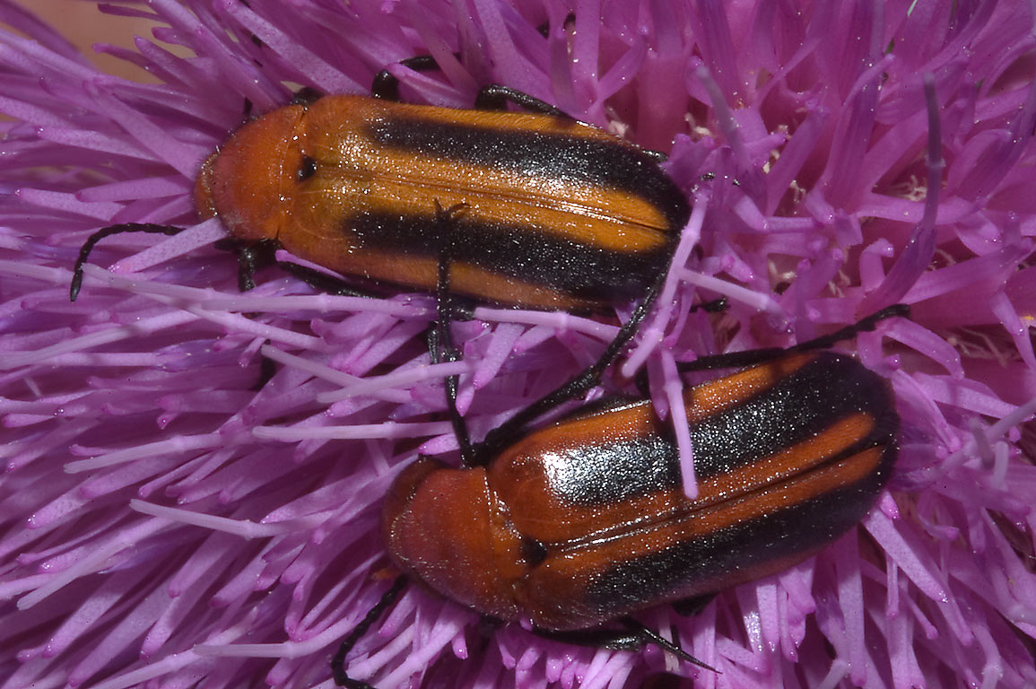 Blister beetles in genus Nemognatha on thistle...State Historic Site. Washington, Texas