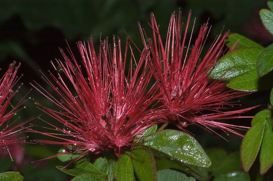 Hemispherical red powder puff flower of Fairy...M University. College Station, Texas