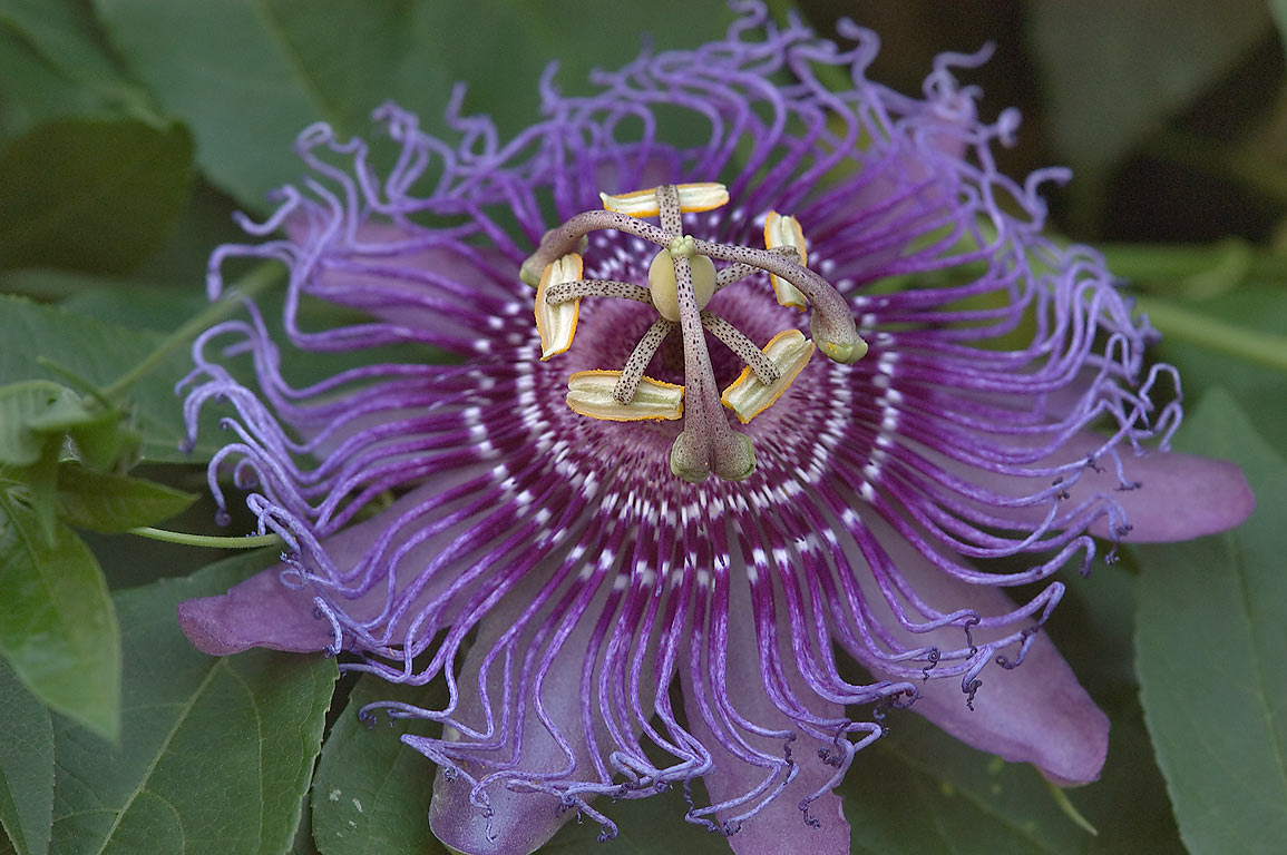 Violet passion flower of maypop (passiflora...M University. College Station, Texas