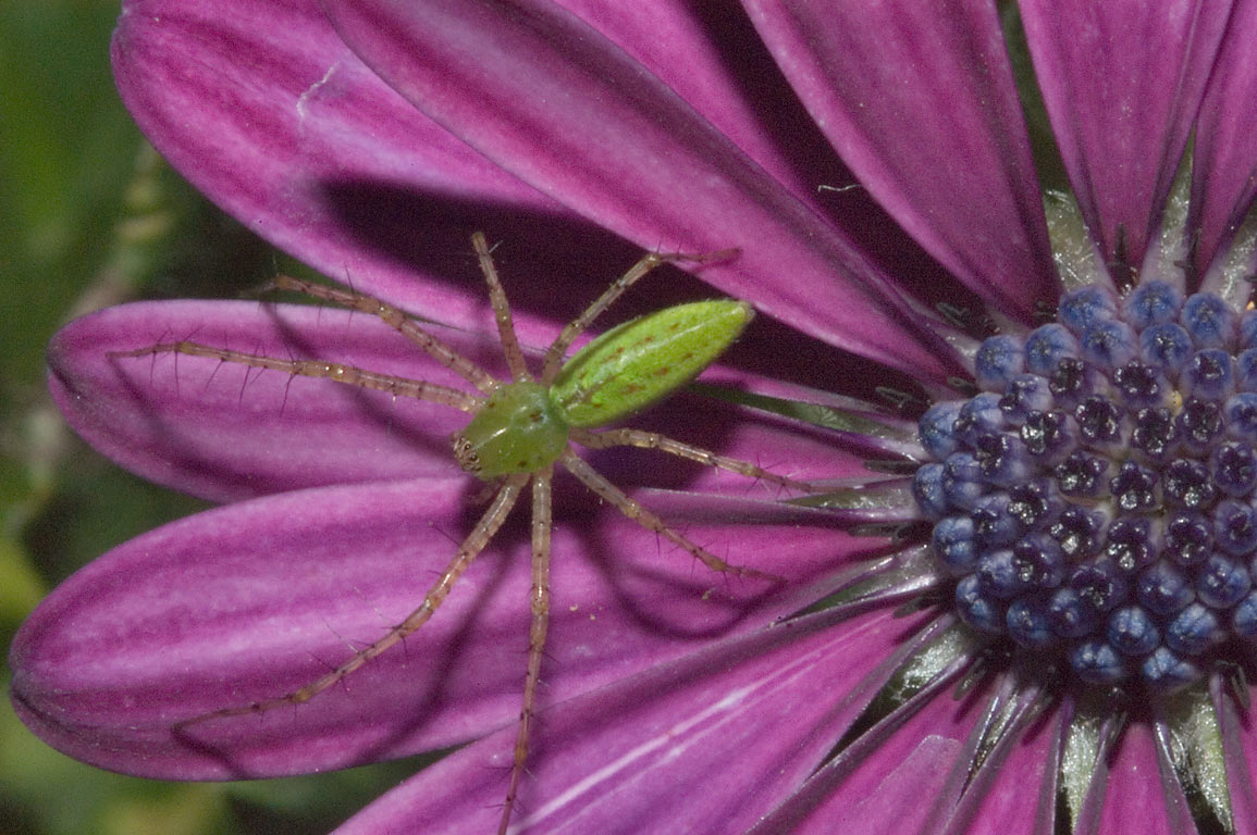 Green lynx spider on a violet zinnia flower in...M University. College Station, Texas