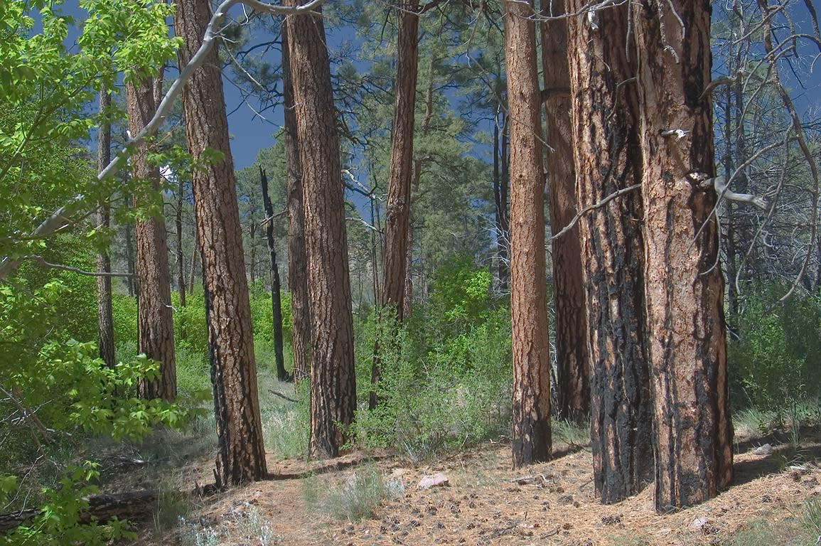 Pine trees at the bottom of Capulin Canyon in...Monument. New Mexico, near Los Alamos